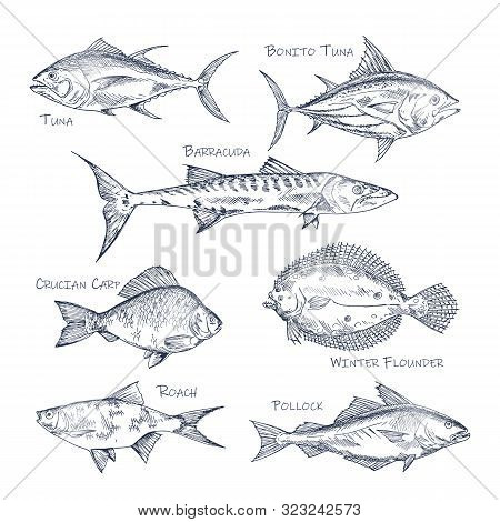 Set Of Isolated Fish Sketch For Shop Or Store, Menu. Bonito Tuna And Barracuda, Crucian Carp And Win