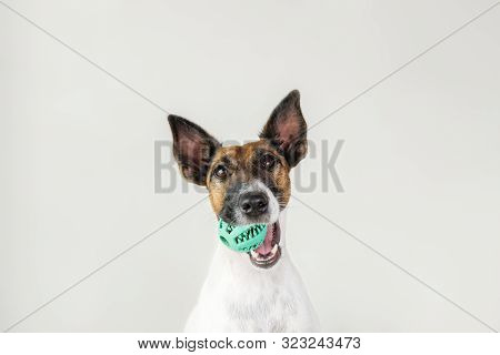 Portrait Of Playful Fox Terrier Puppy With A Ball In Mouth. Dog And Pet Owner Communication Concept,
