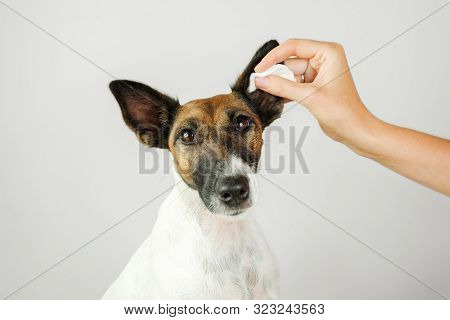 Human Hand Cleans A Dog's Ear With A Cotton Pad. The Concept Of Caring For Dog's Health And .ear Hyg