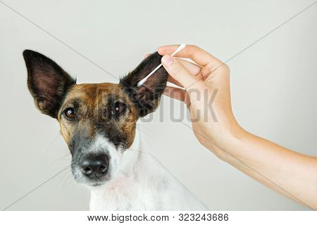 Cleaning A Dog's Ear With A Cotton Ear Stick. The Concept Of Caring For Dog's Health And .ear Hygien