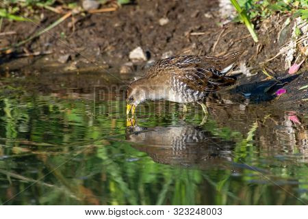 The secretive sora  bird (Porzana carolina) is a small waterbird of the family Rallidae bird escaping from the marsh reeds and drinks from a pond in the sunshine showing off its yellow beak and legs. poster