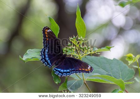 The Red-spotted Purple ( Limenitis Arthemis Astyanax ) Butterfly In Ontario, Canada Close Up Showing