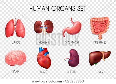 Realistic Human Internal Organs Transparent Icon Set With Lungs Kidneys Stomach Intestines Brain Hea