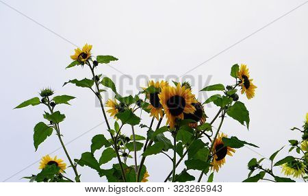 Bright And Showy Big Yellow Sunflowers Isolated  Close Up.