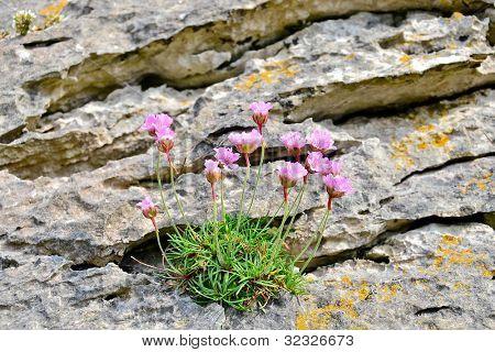Thrift (Armeria maritima) on rock, Ireland, Burren region