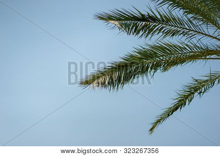 Green Palm Leaves Against A Clear Blue Sky. Traveling Background Concept. Coconut Palm Tree Branches