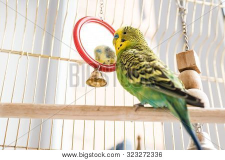 Funny Budgerigar. Cute Green Budgie Pa Parrot Sits In A Cage And Plays With A Mirror. Funny Tamed Pe