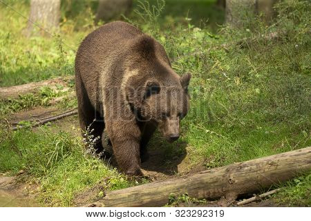 The Grizzly Bear (ursus Arctos)  Is North American Brown Bear. Grizzly Walking In Natural Habitat,fo