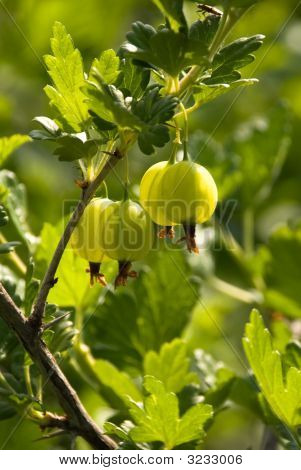 Organic Gooseberries