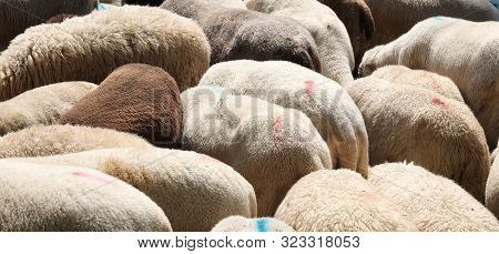 Background Of The Woolly Fur Of The Flock With Many Grazing Sheep