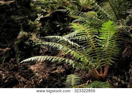 ferns in the darkness of relict forest in Malabotta Reserve, Sicily