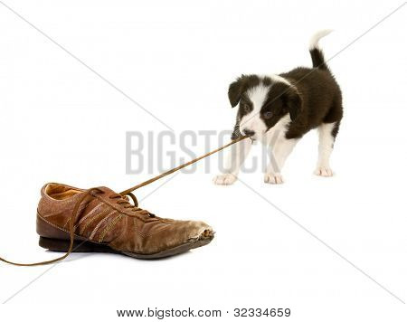 Young puppy of 5 weeks old pulling the lace of an old shoe