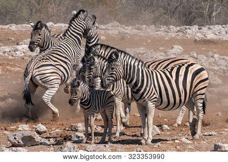 Two Burchells Zebras - Equus Quagga, Formerly Equus Burchelli - Fighting In A Herd In Etosha Nationa