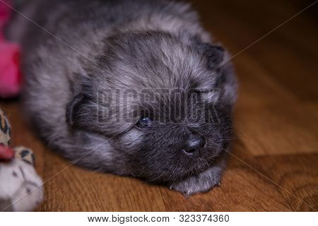 Portrait Of A Three Week Old Keeshond Puppy Lying On The Floor. Behind The Pink Toy. The Puppy Is Lo