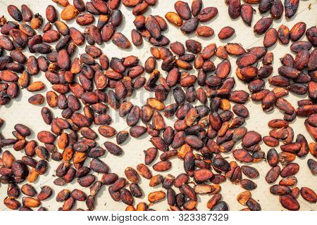 Raw Cocoa beans drying on a cacao plantation close-up