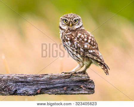 Little Owl (Athene noctua) nocturnal bird perched on log and looking at prey poster