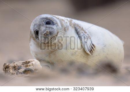 Cute Baby Harbor Seal (phoca Vitulina) Looking In Camera