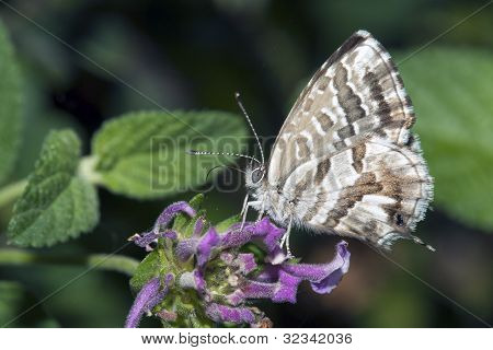 Butterfly Lycaedes On Flower