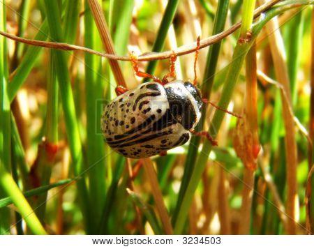 Macro Shot Of Beetle In Grass