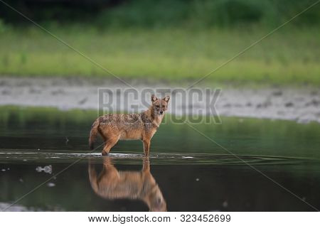 Golden Jackal (canis Aureus) Standing In Shallow Water And Looking At Camera. Wildlife In Natural Ha