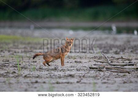 Golden Jackal (canis Aureus) Marking Territory Beside River. Wildlife In Natural Habitat