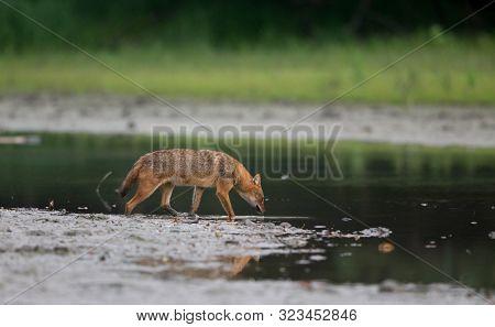 Golden Jackal (canis Aureus) Standing Beside River. Wildlife In Natural Habitat