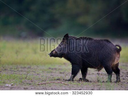 Wild Boar (sus Scrofa Ferus) Walking On Meadow In Front Of Forest. Wildlife In Natural Habitat