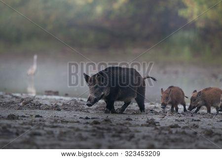 Wild Boar Female (sus Scrofa Ferus) Walking On Mud Beside River With Her Piglets. Wildlife In Natura