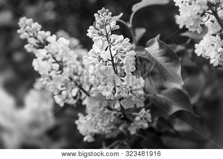 Soft Focus Image Of Blossoming Branch Of A White Lilac. Spring Blooming Lilac Tree Flowers. Lilac Bl