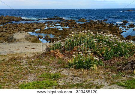 Wild Flowers Asilomar State Marine Reserve Monterey Bay California