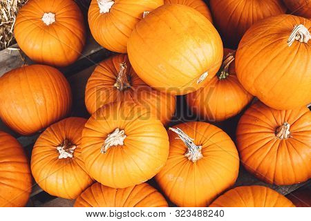 Autumn Harvest Of Pumpkins.