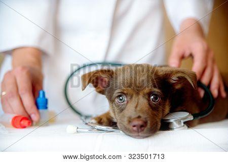 Woman Veterinarian Examining Health Of Spitz Dog In Clinic