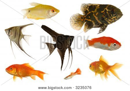 Aquarium Fish On White Background