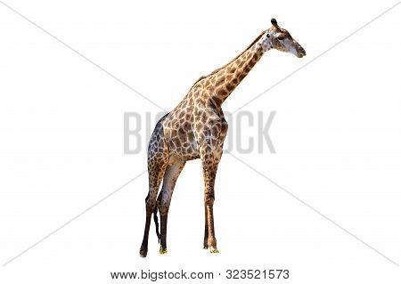 Large Giraffe White Background Isolate Giraffe Isolate