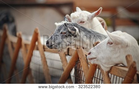 Portrait Of White And Gray Goats Behind The Fence.