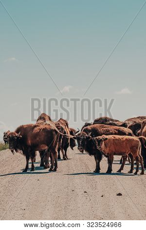 A herd of American Bison or American Buffalo causing a traffic jam on a rural road in the Neal Smith National Wildlife Refuge, Iowa, USA. poster