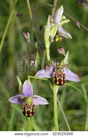 Bee Orchid - Ophrys Apifera Two Flowers With Quaking Grass - Briza Media