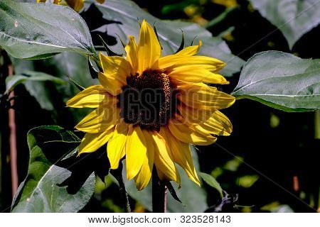 Yellow Blossom Of A Sunflower, Helianthus Annuus