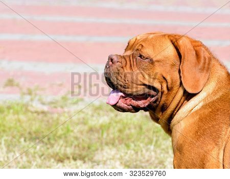 Dogue De Bordeaux Portrait.  The Dogue De Bordeaux Is In The City Park.