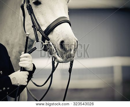 Portrait Sports Gray Stallion In The Bridle. Dressage Of Horses. Equestrian Sport.