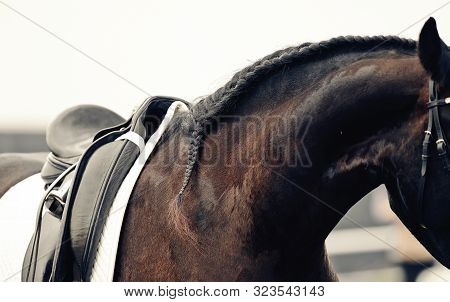 Pigtail On Neck Sports Brown Horse. Saddle With Stirrups On A Back Of A Horse. Neck Sport Horse. Dre