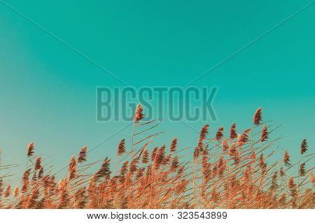 Autumn Grass And Wildflower Background. Dry Reed Grass Blowing In The Wind At Golden Sunset Light, C