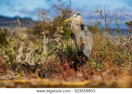 Galapagos - Great blue heron adult on Galapagos Islands. Amazing bird animals wildlife nature of Galapagos, Ecuador.