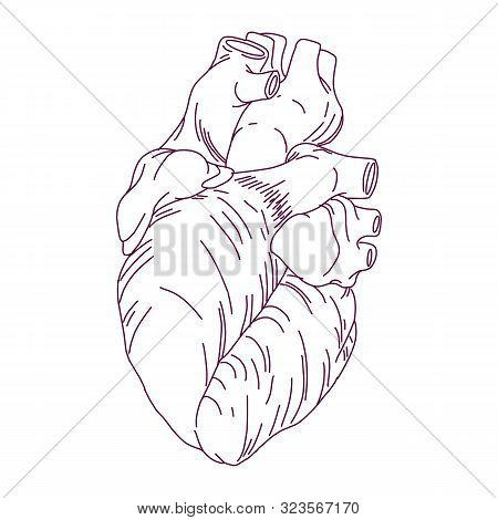 Heart Icon Isolated On White Background From Anatomy Collection. Heart Icon Trendy And Modern Heart