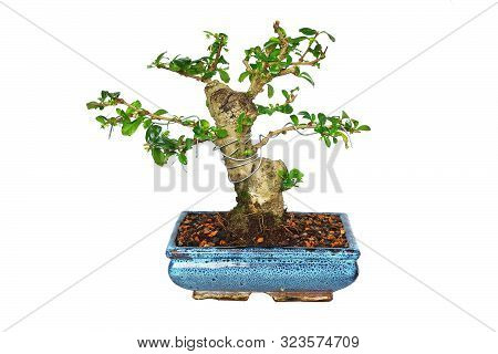 Carmona Retusa Bonsai In Training, Isolation Over White Background For Your Design ( Fukien Tea Tree