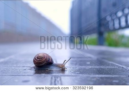 Snail Sliding Foot On Asphalt In City Park During Rain. Animals In Wild Life. Brown Snail Crawling O