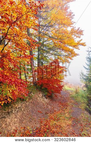 Colorful Foliage Of Beech Trees In Foggy Weather. Wonderful Nature Background. Misty Atmosphere