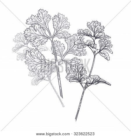 Coriander Or Cilantro. Illustration Of Garden Fragrant Herbs. Spice For Flavouring Food. Isolated Bl