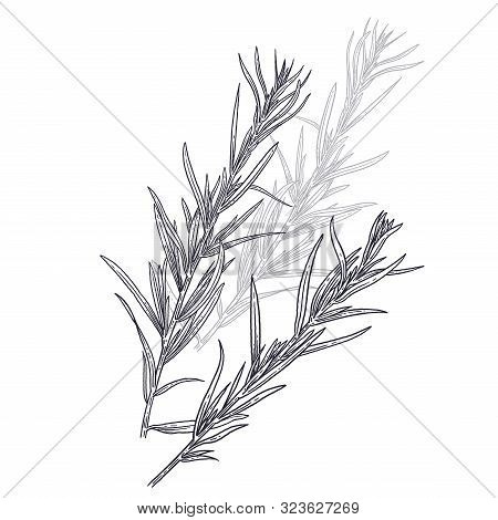 Estragon Or Tarragon. Illustration Of Garden Fragrant Herbs. Spice For Flavouring Food. Isolated Bla