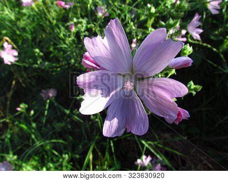 Malva Moschata, Close Up Of Pink Blossom, Medicinal Wild Plant